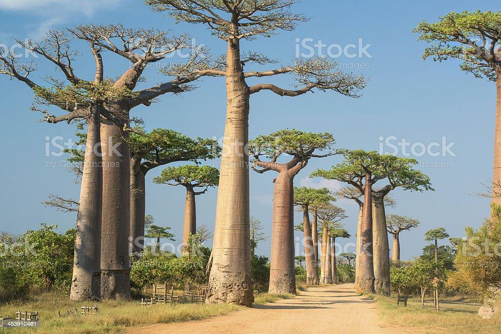 Avenida de Baobab, Madagascar - foto de stock