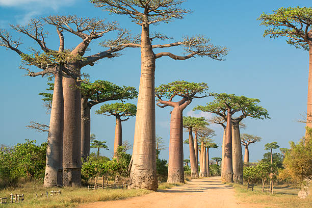 Avenue de Baobab, Madagascar stock photo