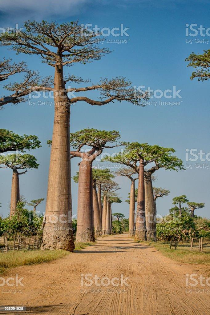 Avenue de Baobab, Madagascar bildbanksfoto