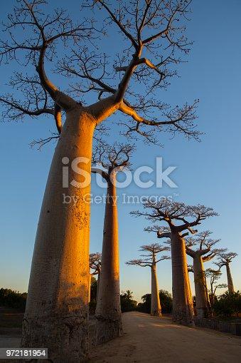 istock Avenue de Baobab, Madagascar 972181954