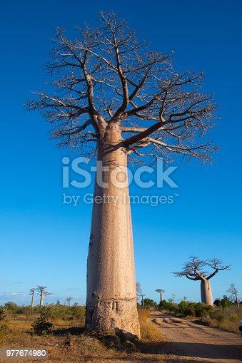 istock Avenue de Baobab, Madagascar 977674980