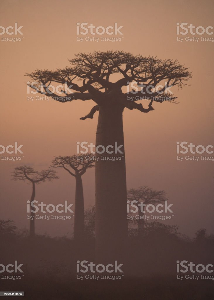 Avenue of baobabs at dawn in the mist. foto de stock royalty-free