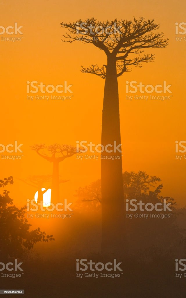 Avenue of baobabs at dawn in the mist. stock photo
