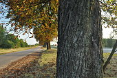 Avenue of chestnut trees. Chestnuts on the road. Autumn walk down the street