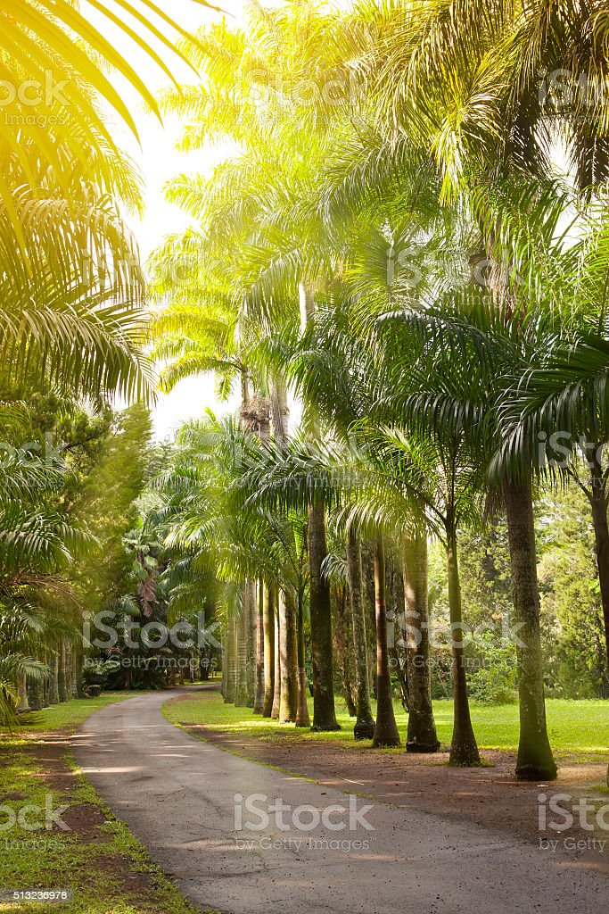 avenue of  Cuban palm trees royal  on Mauritius stock photo