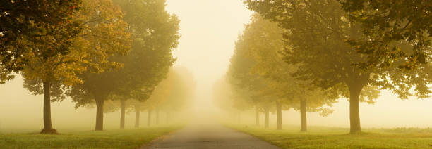 Avenue of Linden Trees in Dense Autumn Fog stock photo