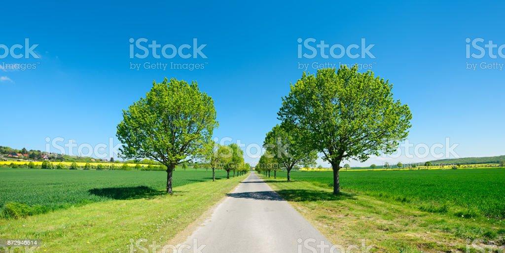 Avenue of Linden Trees stock photo