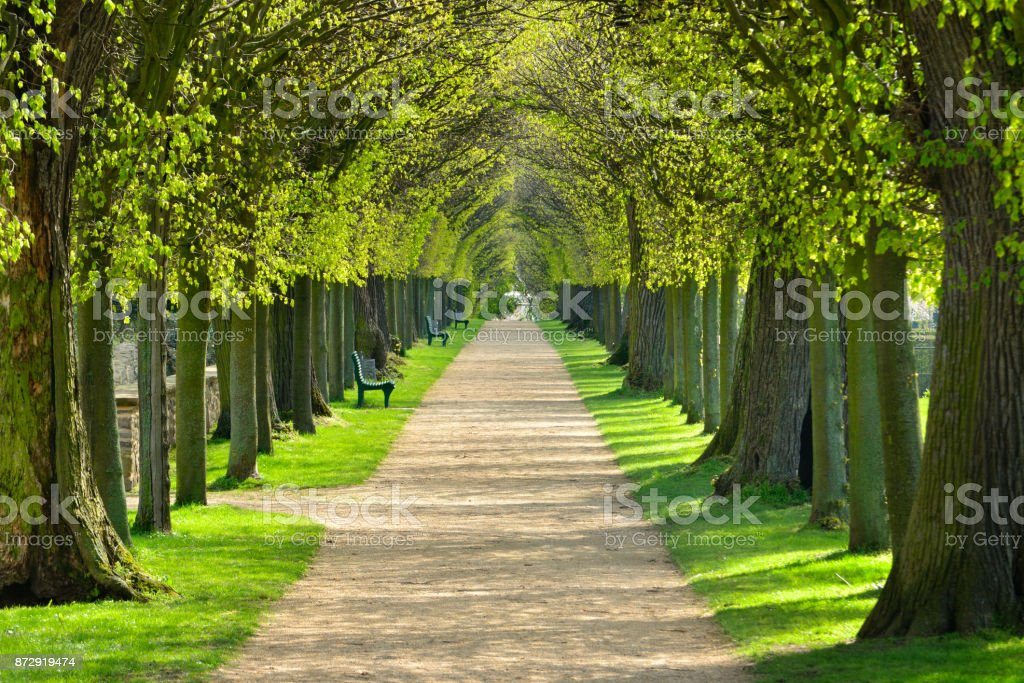 Avenue of Linden Trees, Tree Lined Footpath through Park in Spring stock photo