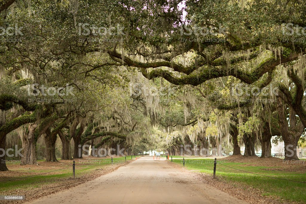 Avenue of Oaks stock photo