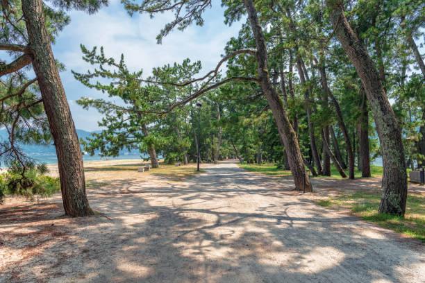 Avenue of pines stock photo