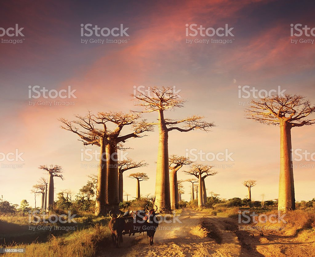 Avenue of the Baobabs in sunset light stock photo
