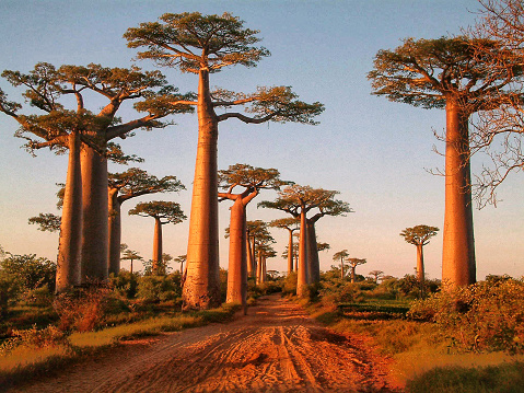 Picture of the avenue of the baobabs around sunset, Madagascar.