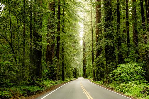 Redwood highway thru the coastal redwoods