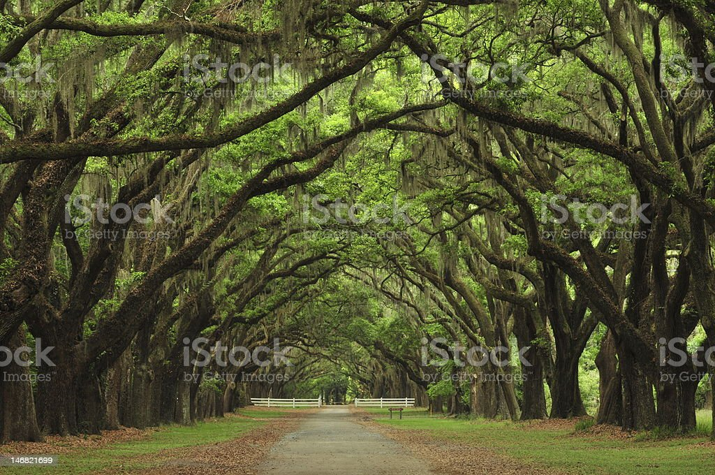 Avenue of the Oaks, historic Warmsloe Plantation stock photo