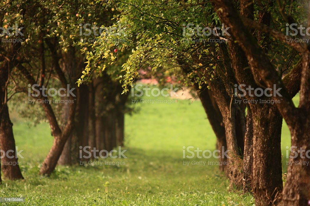 Avenue planted with apple trees royalty-free stock photo
