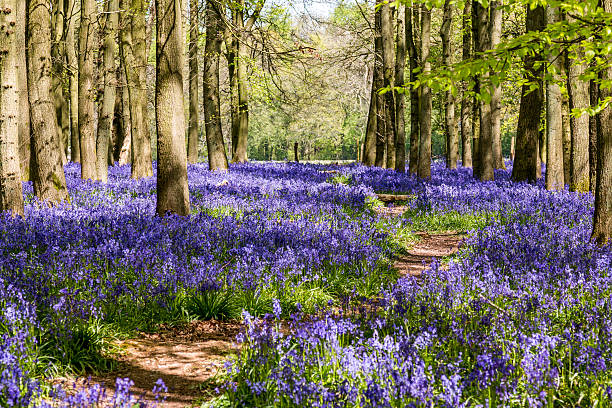 Avenue through the Bluebells - Dockey wood A background image of bluebells in a woodland setting.  Taken in late April on the Ashridge estate in Hertforshire, England. bluebell stock pictures, royalty-free photos & images