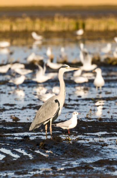 aves amigas en un arrozal stock photo