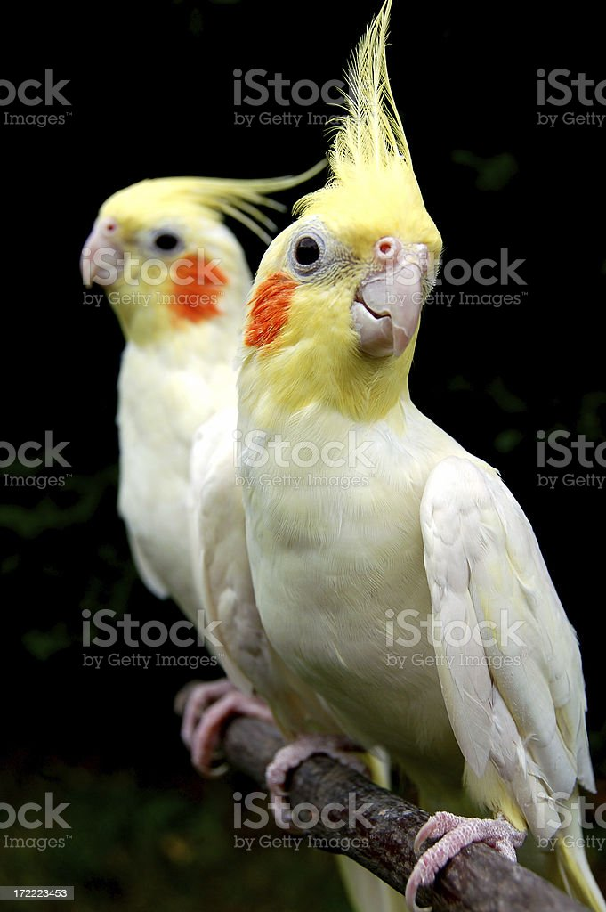 Aviary Antics: Twin Tweeters stock photo