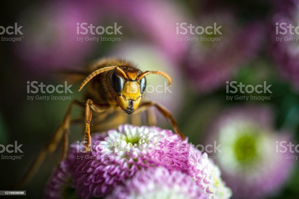 avispa asiática vespa velutina - foto de stock