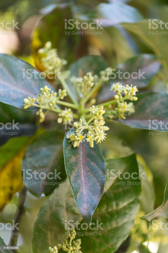 Avocado Blossom stock photo
