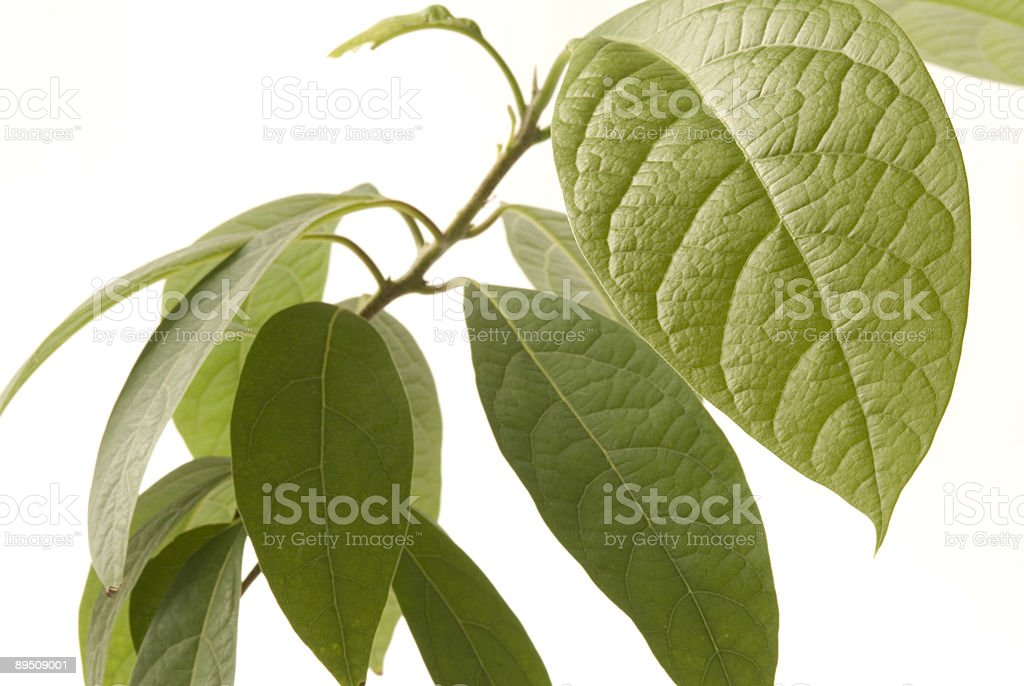 Avocado bush (persea americana) close up royalty-free stock photo