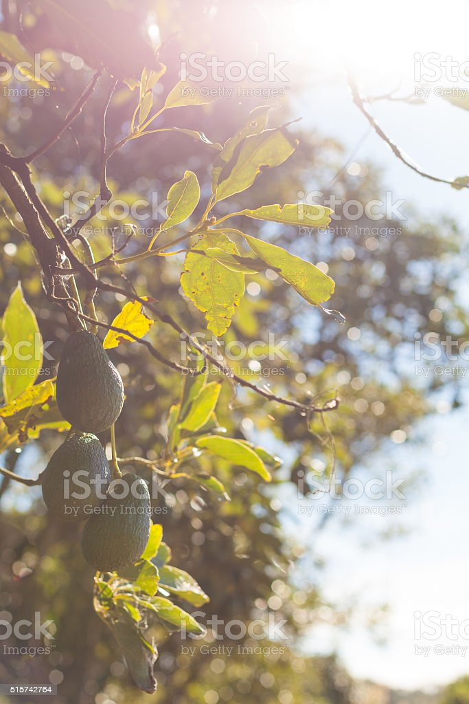 Avocado fruit on branch surrounded with leaves stock photo