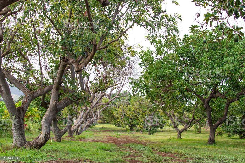 Avocado garden. stock photo