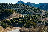 Avocado Grove In California Mountains