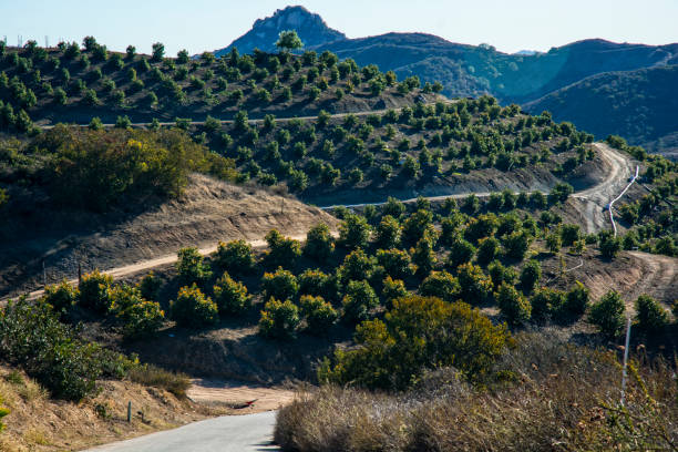 avocado grove in kalifornien berge - wäldchen stock-fotos und bilder