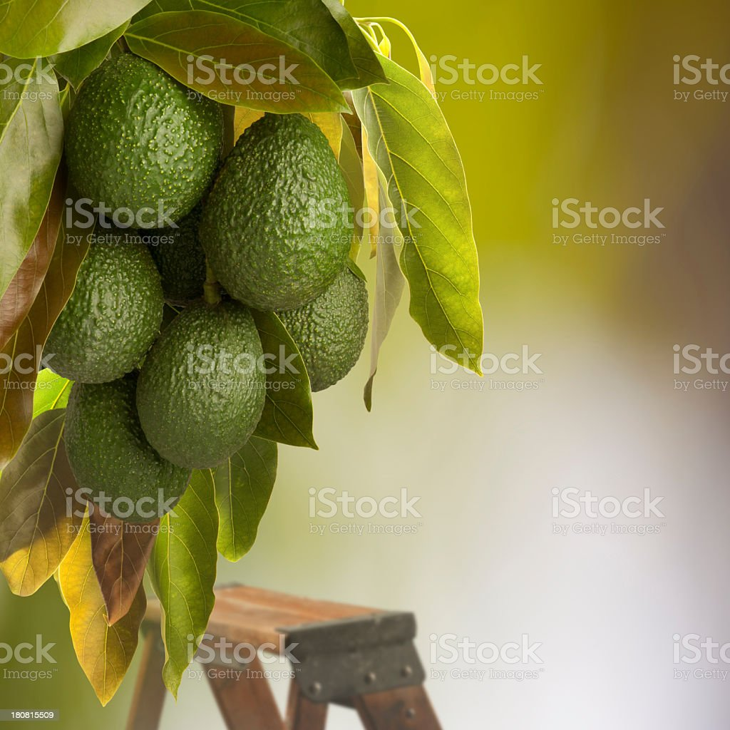 Avocado Harvest stock photo