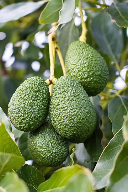 Avocado Hass variety on the tree stock photo