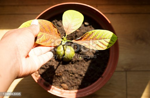Photo of a home grown avocado plant being tended to because the leaves are turning brown.