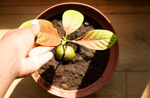 avocado tree light