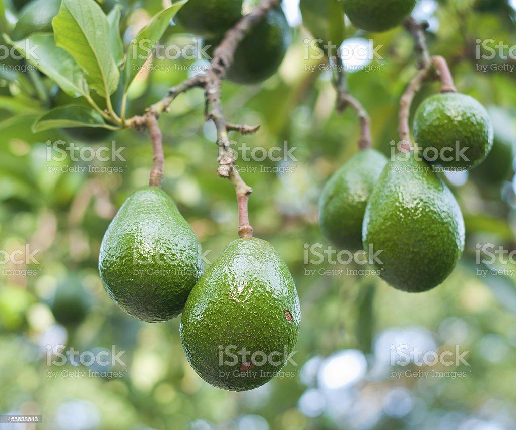 Avocado in the tree stock photo
