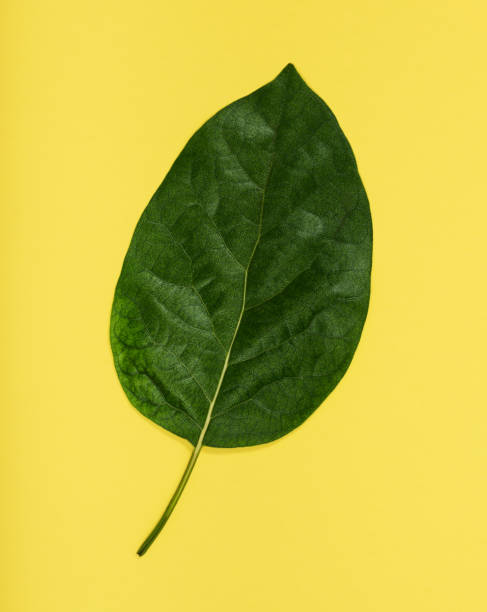 Avocado leaf on yellow background