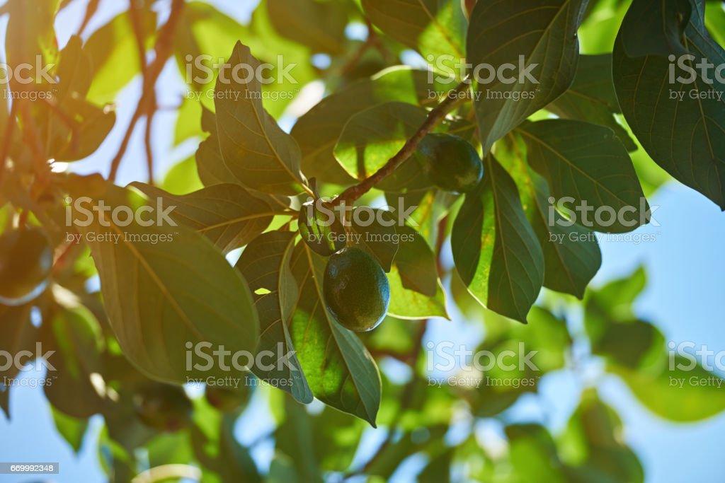 Avocado natural tree background stock photo