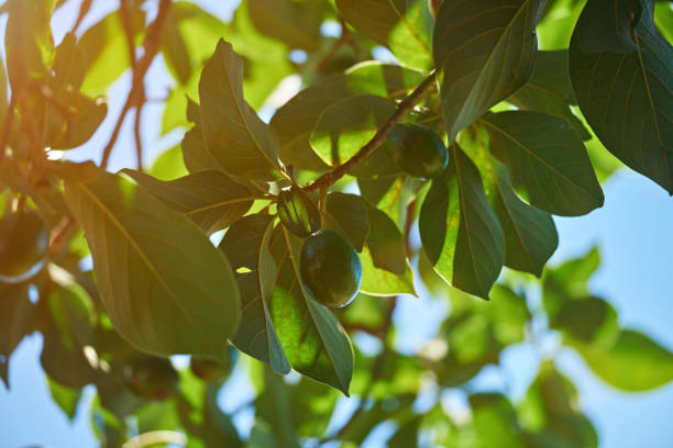 Avocado natural tree background stock photo