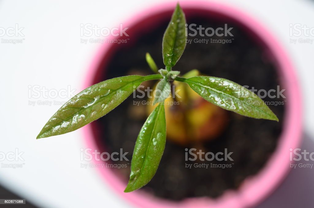 Avocado plant. Grows from a fruit. stock photo