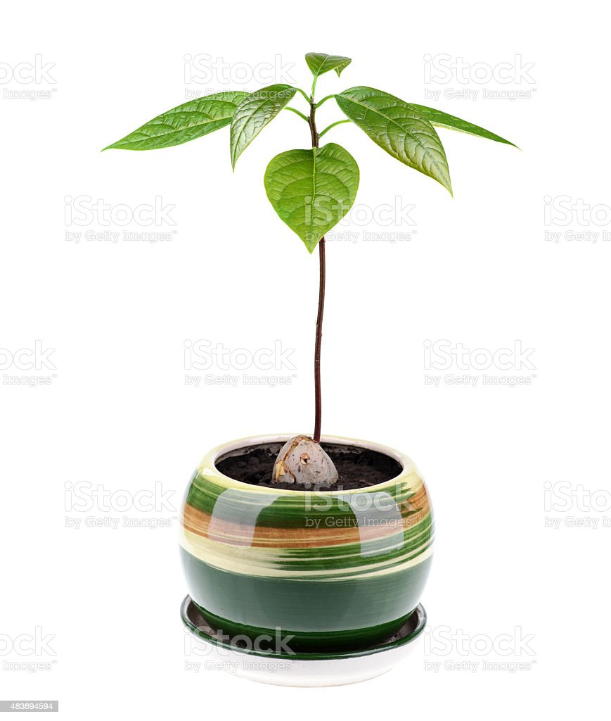 Avocado plant isolated on white background stock photo