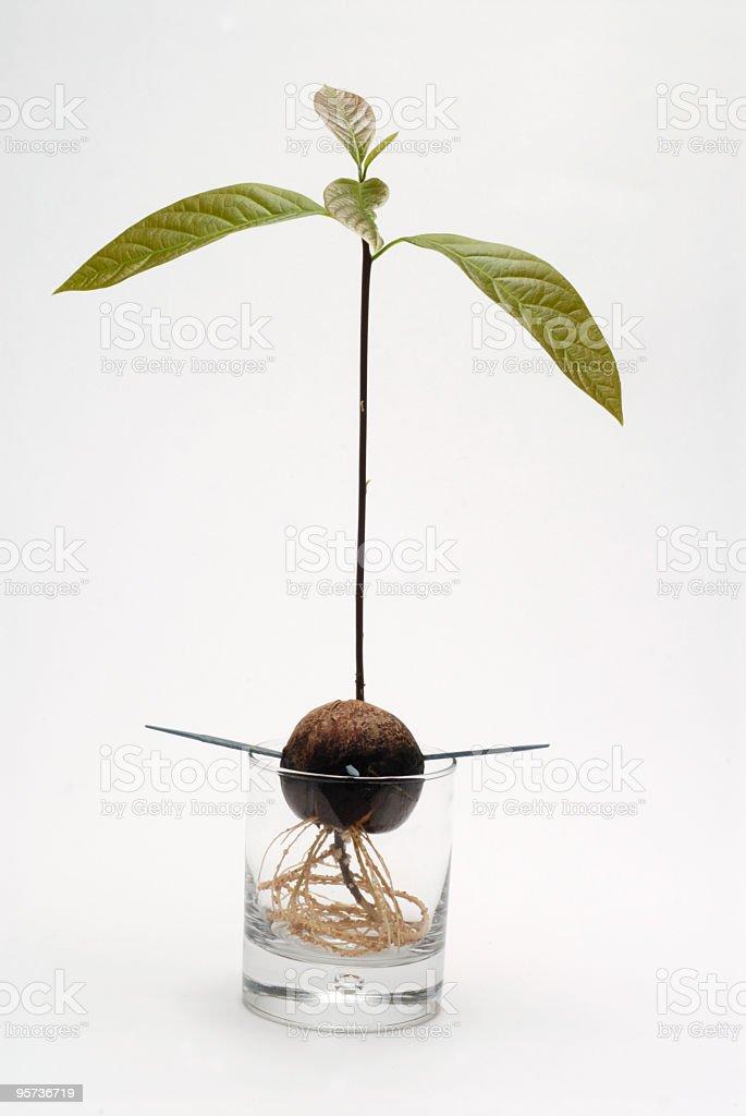 avocado plant stock photo