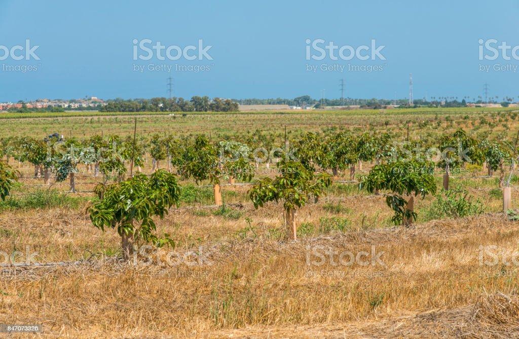 Avocado plantation stock photo