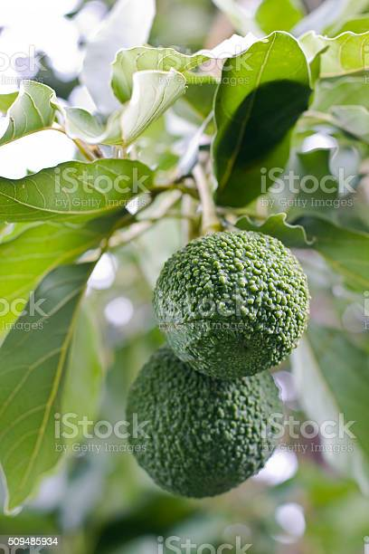 Avocado Reed Variety On The Tree Stock Photo - Download Image Now