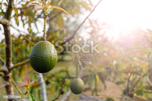 Naturally Growing Avocado Ripening On Tree On Australian Farm
