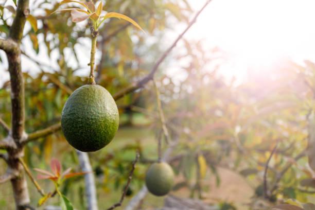 auf baum reife avocado - wäldchen stock-fotos und bilder