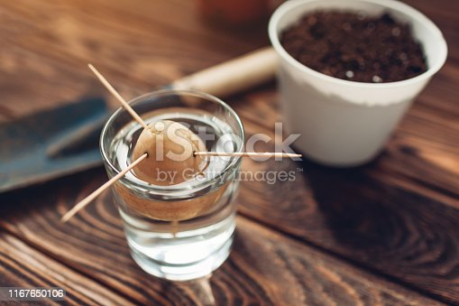 Avocado seed put in glass with water using toothpicks. Transplanting in a pot with soil. Gardening