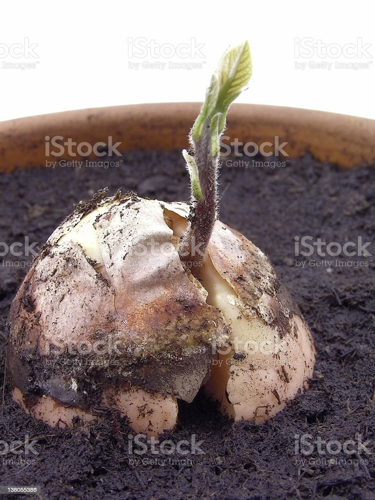 avocado - small  plan t in the pot royalty-free stock photo