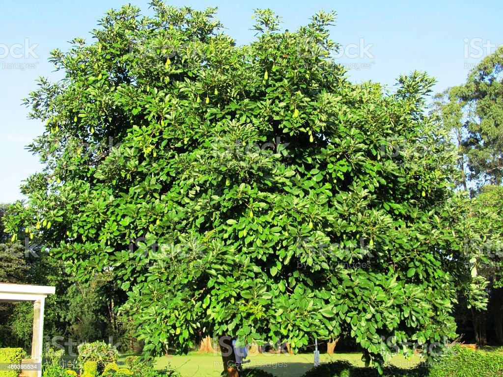 Avocado Tree, Avocados on the tree in Kenya stock photo