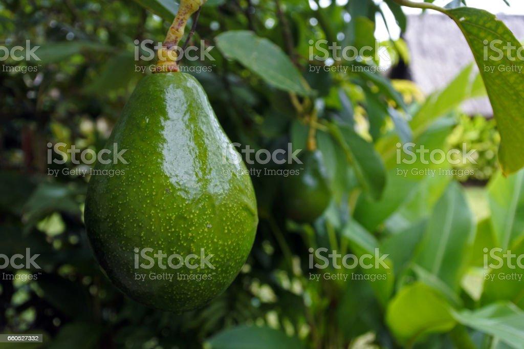 Avocado Tree background stock photo