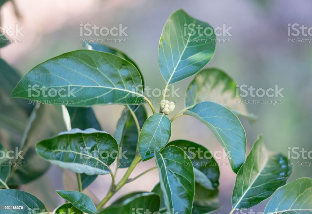 Avocado tree blossom stock photo