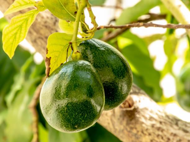 avocado tree in sunny day in Brazil, Brazilian tropical fruit stock photo